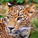 Jaguar Wallpaper Gallery by uniplayapps