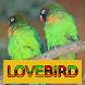 Master Kicau Lovebird by Onyx Gemstone