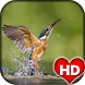 Kingfisher Bird Wallpaper HD by Ash Tech Apps
