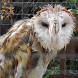 Big Wet Owl at rain HD LWP by Rebrikov