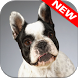French Bulldog Wallpapers by Animal Wallpapers