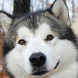 husky puppy wallpaper by Dark cool wallpaper llc