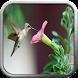 Kicau Burung Kolibri Lengkap by berkah js