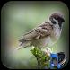 Kicau Burung Gereja by omikko