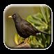 canto de melro|Canto Passaro Preto by M Zakia Randi 354 Apps