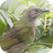 Suara Burung Kapas Tembak by Mhmapp Studio