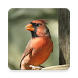Cardinal Bird Wallpaper HD by Laylali