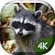 Sneaky Raccoons 4K Live by Jasper Champion