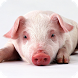 Little Pig Live Wallpaper by FunGames10