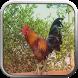 Suara Ayam Ketawa Girang by berkah js