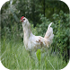 Chicken Sounds by mistic.app