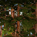 Redwoods 3D Live Wallpaper by Tribaloid