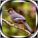 Kicau Burung Poksay by Jayakerta Bizz
