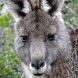 kangaroo wallpapers by Pretty and cute wallpapers llc