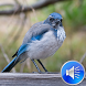Starling Birds Sounds by msd developer multimedia