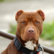 American Pit Bull Terrier Wall by altothem
