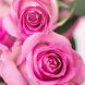 Pink Rose Wallpaper by Qanje Rumbi