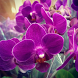 Orchid Flowers HD Wallpaper by wallpaperhd