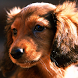 dachshund puppy wallpaper by Dark cool wallpaper llc