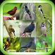 Canto de Pássaros Brasileiros by Kicauku