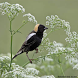 Bobolink Bird Sound by Tidut app