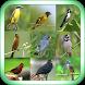 Canto de Pássaros Mais Bonitos