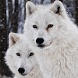 white wolf wallpapers by visuallucidstudio