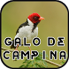 Canto Galo de Campina New by Anggit G