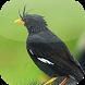 Suara Burung Jalak Kebo by Mhmapp Studio