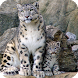 Snow Leopard Wallpaper by WallpapersLove