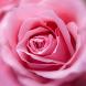 Rose Wallpaper by Qanje Rumbi