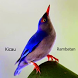 Kicau Burung Rambatan Terbaru by Tidut app