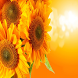 Sunflower Wallpapers by sangam