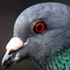 pigeons wallpaper by funny wallpapers fun llc