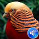 Pheasant Bird Sounds Ringtones by msd developer multimedia