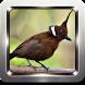 Kicau Burung Cililin Masteran by Omah Pandega