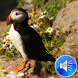 Puffin Bird Sounds Ringtones by msd developer multimedia