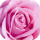 Pink Rose Live Wallpapers by Thalia Ultimate Photo Editing