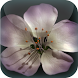 Apple Blossom Live Wallpaper by Bastiaan Mastix Corp