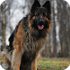 German Shepherd Dog Pack 3 by ChiefWallpapers