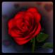 3D Rose Bouquet Live Wallpaper by Space Cadet