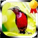 Masteran Burung Kolibri by Jayakerta Bizz