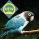 Kicau Lovebird by zaviaproject
