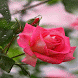 Rainy Pink Rose LWP by Daksh Apps