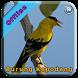 Master Kicau Burung Kepodang by Novian App