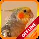 Calopsita Cantando Hino Nacional Offline by ddwip apps