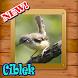 Ocehan Burung Ciblek by KaomicDev