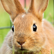 cute bunny live wallpaper by cool backgrounds moving llc