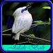Kicau Burung Jalak Bali