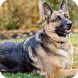 German Shepherd Dog Pack 2 by ChiefWallpapers